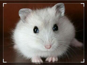 продам опилки в Кыргызстан: Продаю джунгарских белых хомячков,а так же есть в продаже все