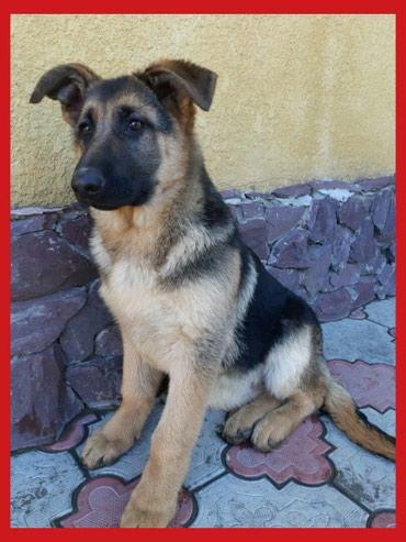 ●Продаю щенка Немецкой овчарки в Бишкек