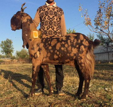 Срочно Продаю козы породы битал и камори    beetal goat Ютуб помощь  в Бишкек