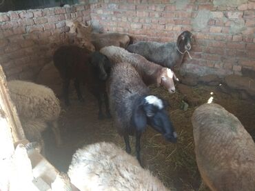 Животные - Бактуу-Долоноту: Семис кой козу сатылат Чолпон- атада