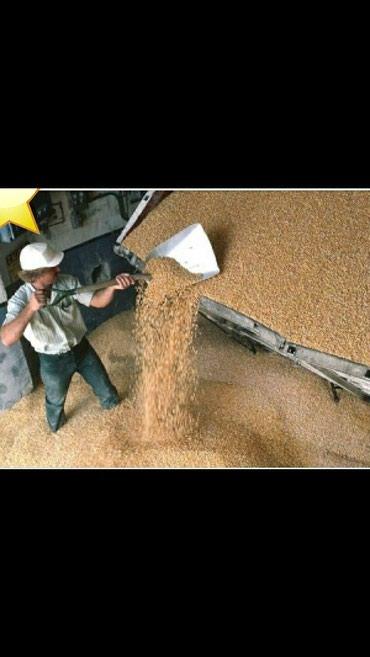 Продаю кукурузу рушенный  есть  100 тонна жугору сатылат 100 тонна бар в Шопоков