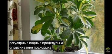 Комнатные растения - Кыргызстан: Детки  Шафлера декоративно цветы