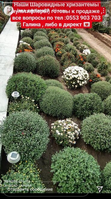 Семена и уличные растения - Сокулук: Хризантемы в продаже