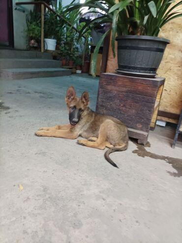 Животные - Пригородное: Два щенка немецкой овчарки занарный кобель чепрачная сука. 3 месяца