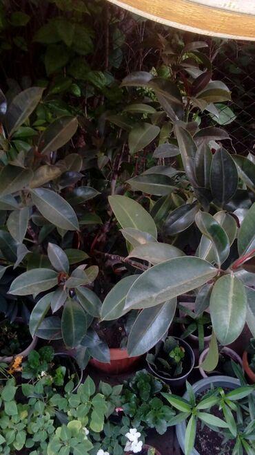 """Фикус """"чёрный принц"""".Комнатное растение.Подойдёт как для доматак и"""