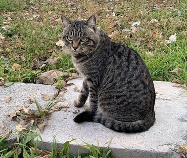 Кот мальчик! 1,5 года. Кастрирован от паразитов избавлен, привит.В