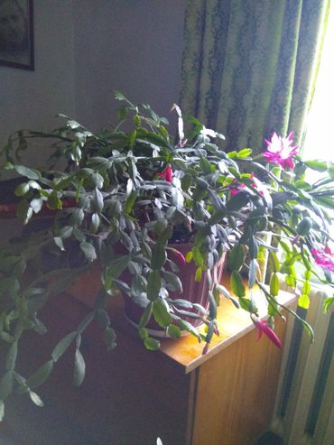 комнатные растения, декабрист цена1000с. тольстянка-денежное дерево це в Бишкек