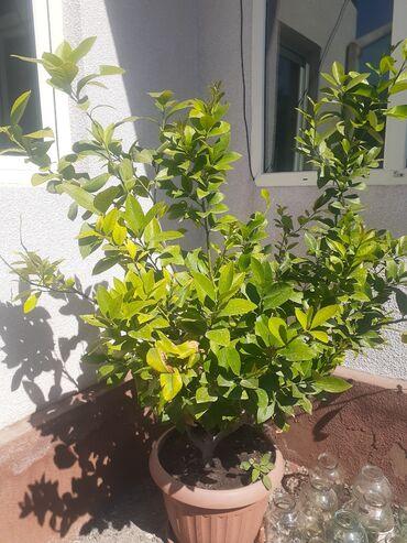 520 объявлений: Продаю дерево лимона . срочно