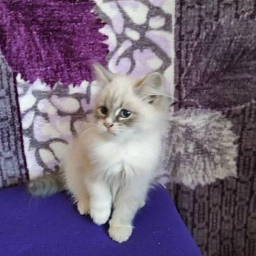 Продаются котята сибирской породы в Кант