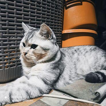 Коты - Кыргызстан: Предлагается для вязки чистокровный ласковый шотландский котик,с