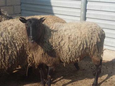 Животные - Тертер: Овца (самка) | Романовская