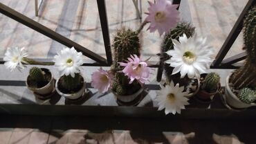 352 объявлений: Цветущие кактусы. Цветут до трёх раз в год!
