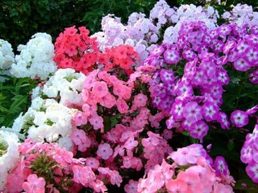Флоксы . даже если бы все другие цветы в Бишкек
