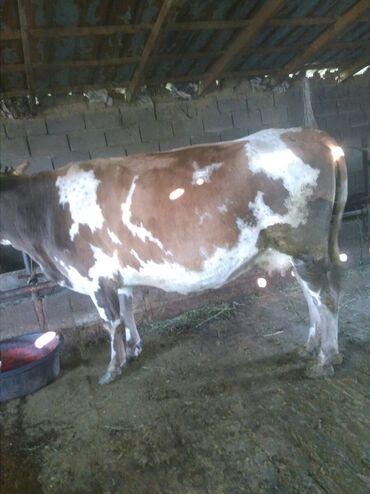 15 объявлений | ЖИВОТНЫЕ: Продаю | Корова (самка) | На забой
