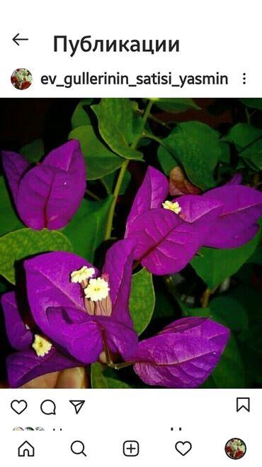 New violet artitmasi var 200qr stakanda