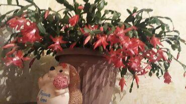 51 объявлений: Декабрист, цветет несколько раз в год