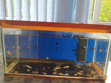 bmw-3-серия-328xi-mt - Azərbaycan: 3 aylıq xişnik akvarium balığları satılır.Hal hazırda 3 sm uzunluqları