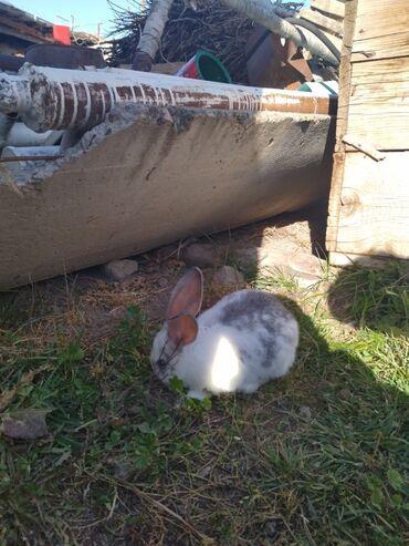 37 объявлений   ЖИВОТНЫЕ: Продаю   Крольчата