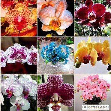 Semena | Arandjelovac: Seme Orhideje Mix 30 semenki CENA:550din