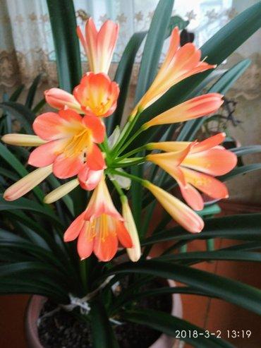 Домашний цветок -кливия ,вечнозеленое в Лебединовка