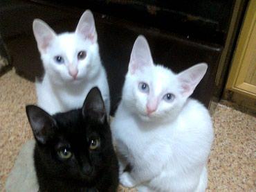 Bakı şəhərində Продаются котята редкой породы Као