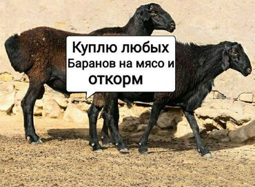 животн в Кыргызстан: Куплю баранов в ЛЮБОМ количество
