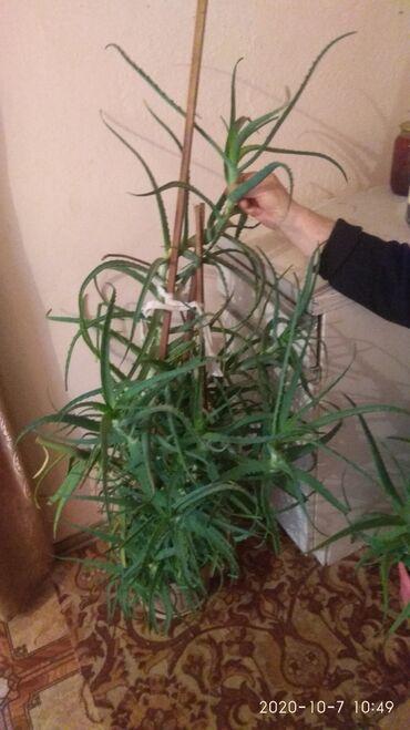дезодорант алоэ эвер шилд в Кыргызстан: Продаю алоэ 7ми летний