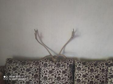 Рога Оленя привезенные из тайги цена 4000
