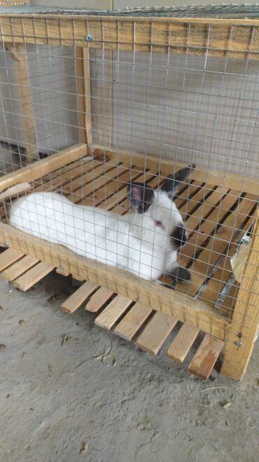 82 объявлений   ЖИВОТНЫЕ: Продаю   Крольчиха (самка), Кролик самец   Калифорнийская   Для разведения   Племенные