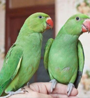 2357 объявлений: Ожиреловые попугаи молодняк для обучения