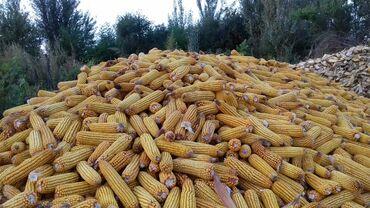 Животные - Кыргызстан: Токмок кукурузу местная 5 тон продаю