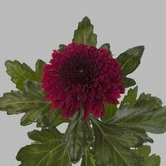 Продаю комнатные цветы голландской и в Токмак
