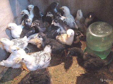 Животные - Пригородное: Продаю   Цыплята