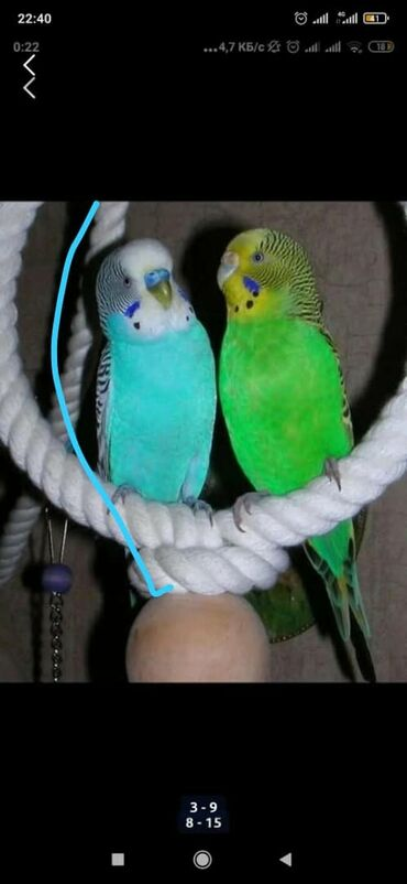 Продаём Волнистых попугайчиков! А также клетки,корма, лакомства