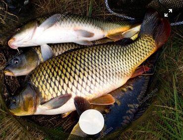132 объявлений: Продаю живая рыбы для разведения Сазан маленькие 200- 300 Грам оптом