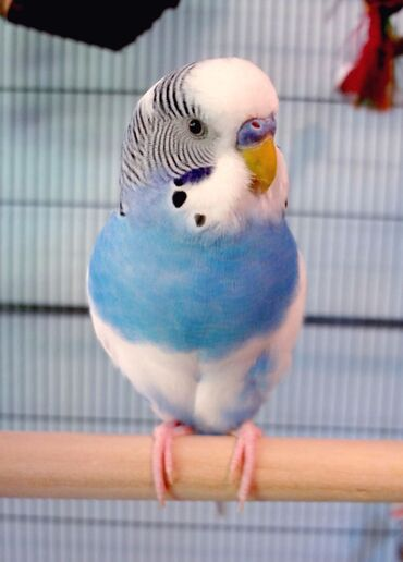 Птицы в Кыргызстан: Волнистые попугаи  Красивых окрасов🤍  Наша птица привита  Получает вит