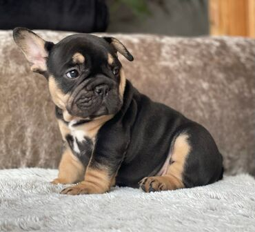 French Bulldog puppies for sale WhatsApp me +33 French Bulldog