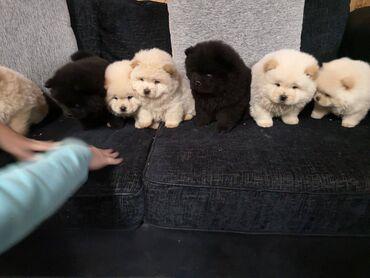 Chow Chow puppies for sale Chow Chow puppies for sale 11 weeks and