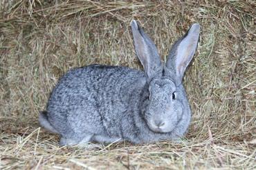 Продаю кроликов маленьких и в Бишкек