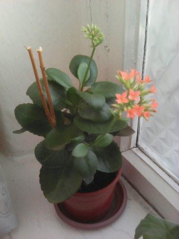 Каланхое,очень красиво цветет. в Бишкек