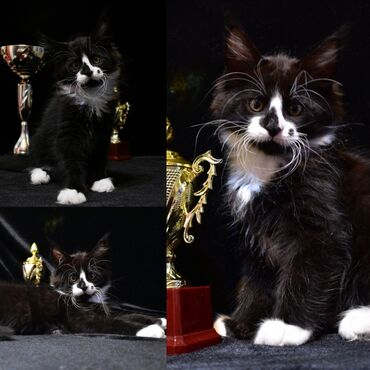 Мейн кун мальчик. Профессиональный питомник кошек породы мейн кун