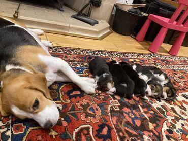 Κουτάβια Beagle για υιοθεσίαΚουτάβια Beagle για οποιοδήποτε καλό σπίτι
