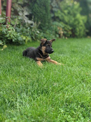 Открыта продажа щенков немецкой овчарки. Дата рождения 24 июля 2021 г
