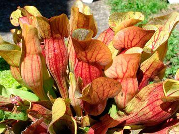 сканеры до 600 в Кыргызстан: Хищные растения. Саррацения капская и шпательная росянка, венерины