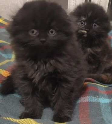 802 объявлений   ЖИВОТНЫЕ: Продам котят (девочки). Шотландские вислоухие хайленд