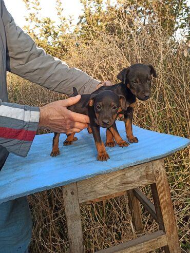296 объявлений   ЖИВОТНЫЕ: Продаются щенки ягдтерьера двух месячные. Первй помёт от Рембо (Чемпио
