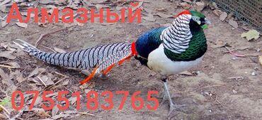 16 объявлений | ЖИВОТНЫЕ: Продаю Алмазный готовый пара подросшие фазаны