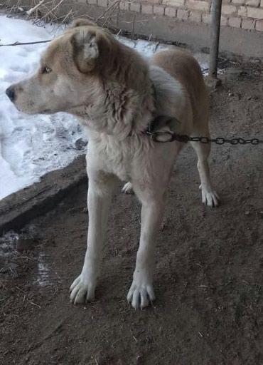 Собаки в Кемин