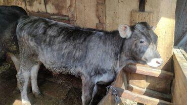 Животные - Тюп: Продаю полгодовалого бычка и тёлочку