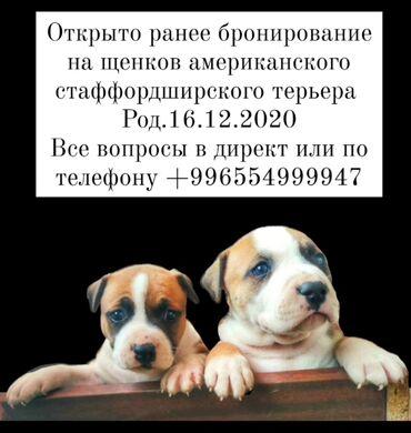 скотч терьер в Кыргызстан: Открыто ранее бронирование на щенков американского стаффордширского